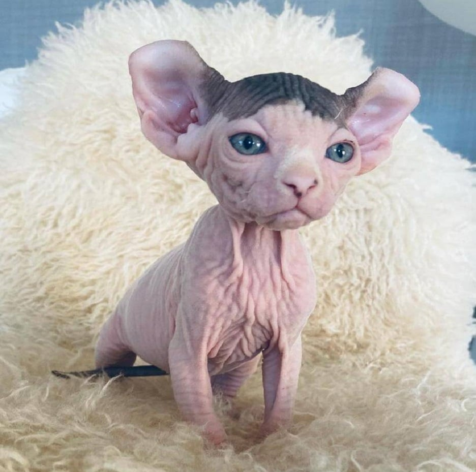 Sphynx Kittens For Sale   Sphynx Cat For Sale. 15 Awesome Cats